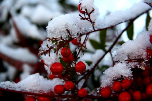 bacche e neve.jpg